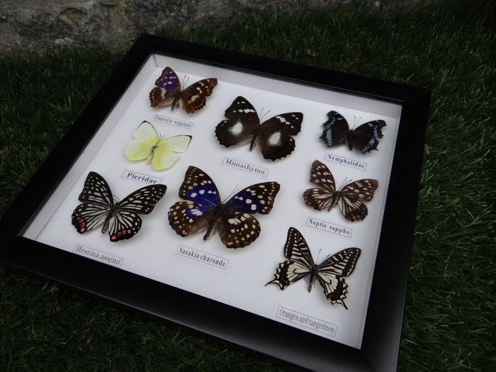 Various Exotic Butterflies in fine wall-hung frame - 28 x 25cm
