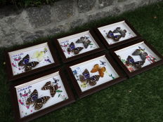 Set of fine Exotic Butterflies in Oriental-style display cases - 16 x 21cm  (6)