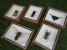 Set of fine display cases with a variety of Exotic Asian Insects - 12.5 x 15cm  (5)