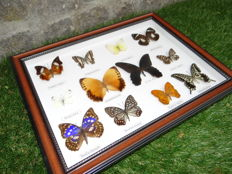 Exotic Butterflies in de-luxe framing - 44 x 34cm
