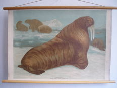 School poster / School map Walrus (Trichechus Rosmarus) by Karl Wagner from 1906, in Chromo lithograph print.