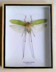 Long-legged Katydid in wood display case - Mecopoda sp. - 20.5 x 15.5cm
