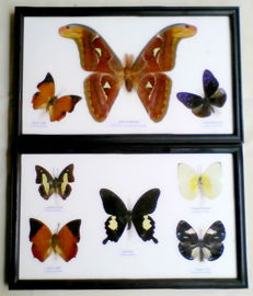 Interesting pair of Butterfly cases, including Atlas Moth - 32 x 20cm  (2)