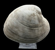 Fossil shell - Mercenaria campechiensis of 14,6cm - Top quality