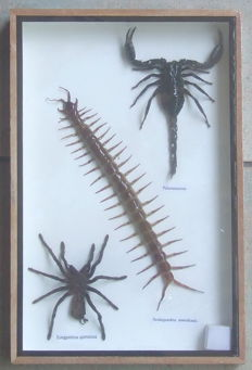 Entomology - Poison Set, comprising Scorpion, Tarantula and Centipede - 30 x 20cm
