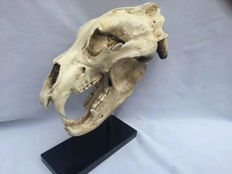 Interesting full-size replica Polar Bear skull - Ursus maritimus - 44 x 24 x 17cm - 3kg