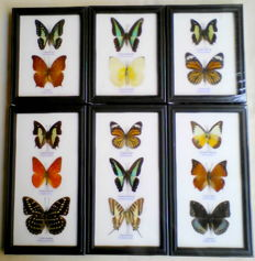 Various Exotic Butterfly display-frames - various, named species - 25 x 13.5cm and 17.5 x 13.5cm  (6)