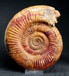 Large ammonite fossil - Liosphinctes linki - 21 cm - 2.2 kg - two sides prepared - fine colours