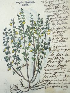 Leonhart Fuchs (1501 – 1566) - 2 botanical woodcut prints: Botany: Spanish Broom [Spartium]; Broom [Genista sagittalis] - 1549