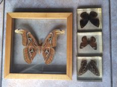 Small collection of Exotic Butterflies, with Atlas Moth - 24.5cm and 19 x 13.5cm  (4)