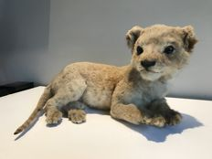 Taxidermy - Lion Cub - Panthera leo - 36cm