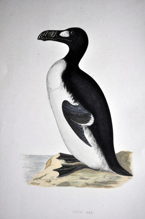 Various artists - collection of 24 antique plates of the great auk