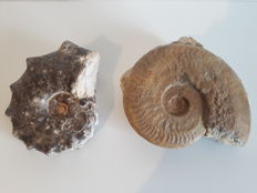 Fossil ammonites - double Harpoceras and a Mastitis - 17 x 14 cm and 8 x 7 cm, total weight 2730 g (2)