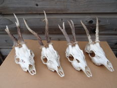 Set of Roebuck Trophies with complete upper skull - Capreolus capreolus - 18 to 20cm  (4)