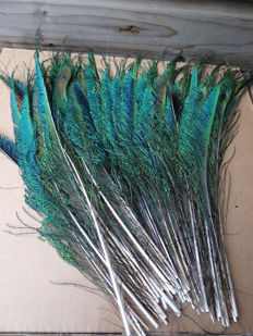 Nice set of Indian Peafowl feathers - Pavo cristatus - 35 cm  (50)