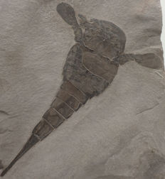Fossil Sea Scorpion - Eurypterus remipes (Dekay) - 13,4 cm