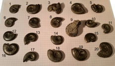 Lot of 20 Ammonites pyritised - 2.7 cm to 4.3 cm - 268.74 grams