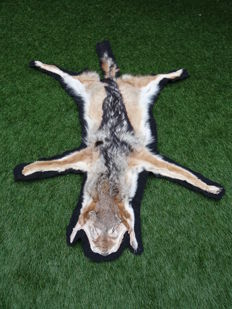 Taxidermy - Black-backed Jackal, full skin - Canis mesomelas - 125 x 85 cm
