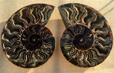 Natural Madagascar geode Pair Slices Polished Split Ammonite Fossil - Aioloceras sp. 153 x 118 x 40 mm 731 g (2)
