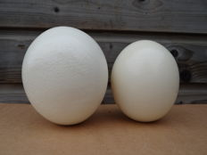 Taxidermy - large Ostrich Eggs - Struthio camelus - 15 and 11cm  (2)
