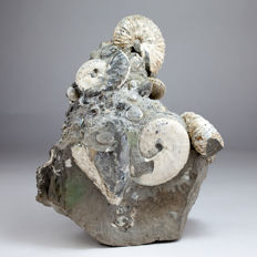 Exceptional association of Ammonites and Molluscs - Discoscaphites / Hoploscaphites sp. - 18 x 15 x 10 cm (specimens ca. 5,5 cm)