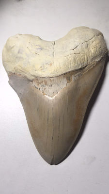 Large Megalodon Carcharocles Megalodon shark tooth from Cuba 16.5 cm (6.50')