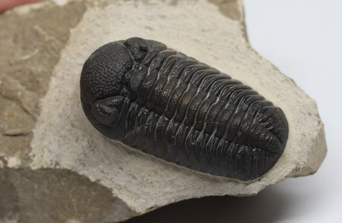 Trilobite fossil - Austerops smoothops  - 4.8 cm - Perfect eyes - very flat