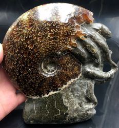 Large free-standing polished ammonite - Aioloceras sp. - 175 x 165 x 37 mm - 1215 g