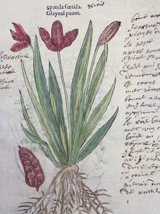 2 botanical prints by Leonhard Fuchs [1501 - 1566] recto and verso of one leaf - Spatula Foetida, Stinking Iris [Iris fétide, Iris foetidissima] & Trichomanes, Bristle Fern - With manuscript descriptions - 1549