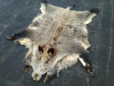 Large and complete Wild Boar hide - Sus scrofa - 170 x 150cm