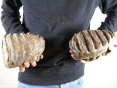 Southern Mammoth molars - Mammuthus meridionalis - 1 x 20 cm and 1 x 15 cm (2)