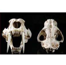 Life-sized Sabre-toothed Tiger, fine replica skull on custom stand - Smilodon - 35 x 18 x 18.5cm