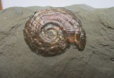Plate with irridescent ammonites  - Psiloceras planorbis - 28 and 23 mm