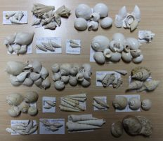 Collection of gastropods and bivalves from the Eocene of the Parisian basin - 10-80 mm