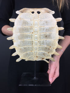 Chinese Softshell Turtle carapace skeleton, with stand - Pelodiscus sinensis - 28 x 22 cm