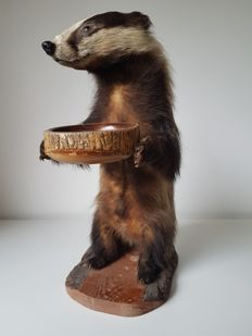 Taxidermy mounted badger - Meles meles