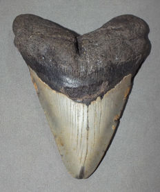 Fossil shark tooth - Carcharocles Megalodon - 11,9 cm