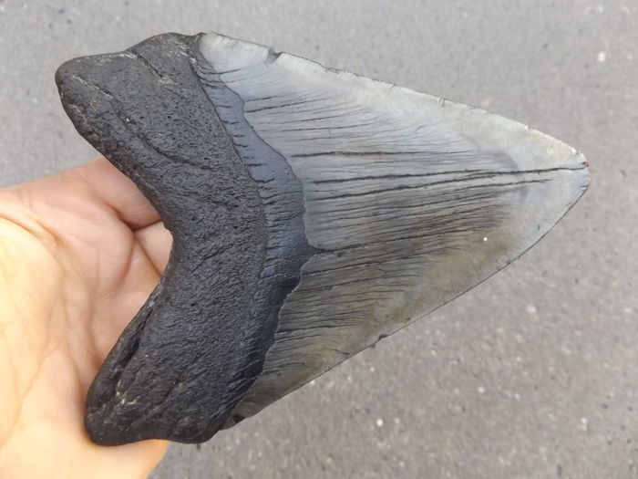 Very large tooth of Carcharocles megalodon - 14.8 cm
