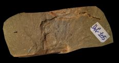 Very Rare Cambrian fossil of an Yunnanoascus, a jellyfish from the  Chengjiang formation, 2.5 cm