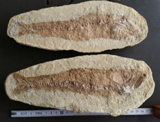 Fossil of an unidentified fish, positive and negative sides, 28 cm, 3.1 kg