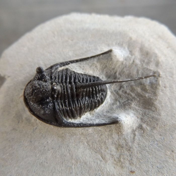 Trilobite - Cyphaspis boutscharafinense  - 31 mm