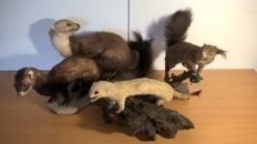 Small collection of vintage small mammal taxidermy - Marten, Polecat, Stoat and Squirrel - 31 to 36cm  (4)