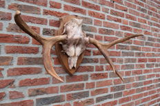 Elk Horns on part skull with carved shield - Alces alces - 86 x 42cm