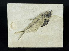 Fossil of a fish Diplomystus dentatus 3.5 x 11 cm for the matrix and 11.5 cm for the fossil