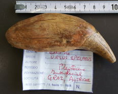 Cave Bear, large canine tooth - Ursus spelaeus - 110 x 40 x 25mm