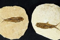 2 fossil fish Knightia eocaena 8.5 x 7 cm for the matrix and 5.5 cm for the fish