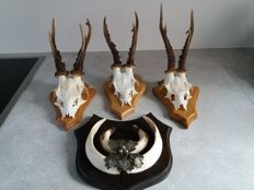 Taxidermy - Large Roebuck and Wild Boar Trophies, some data on reverse - Capreolus and Sus scrofa - 19.5 to 20.5 cm and 14 cm  (4)