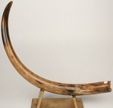 Professionally restored Woolly Mammoth tusk - Mammuthus primigenius - 124 cm - 6.35kg