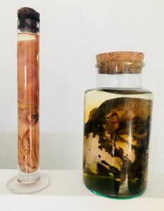 Extra large Octopus and Squid - preserved and bottled - Octopoda and Teuthida sp. -