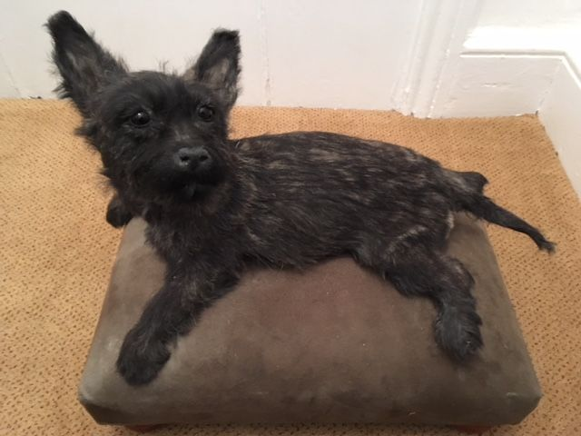 finest taxidermy brindle coated cairn terrier puppy with cushioned